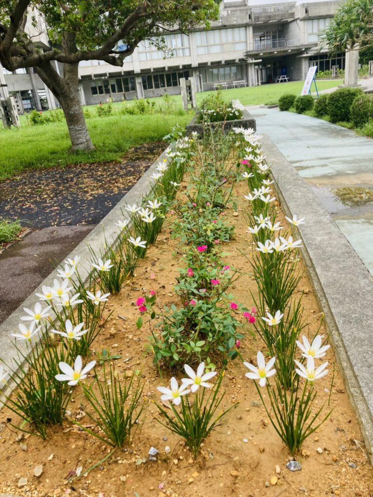 花壇の白い花2
